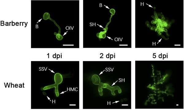 Los científicos estudian la relación coevolutiva entre los hongos de la roya y el trigo y el agracejo