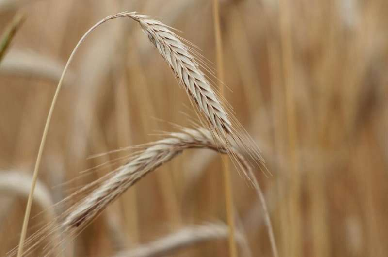 University of Maryland co-publishes the first full reference genome for rye