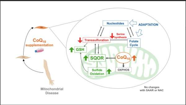 Coenzyme Q10 could treat mitochondrial diseases, colon cancer, thyroid carcinoma and Crohn's disease