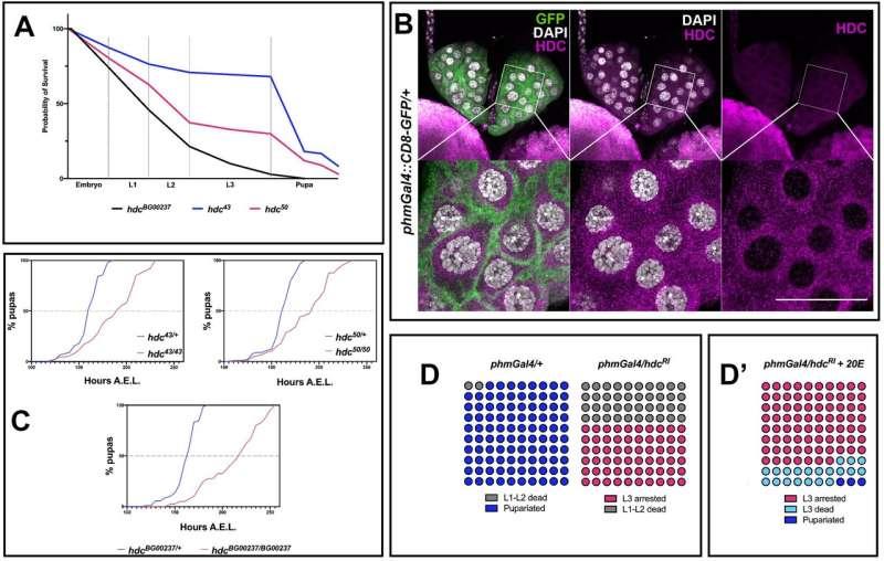Tumor suppressor gene also essential for hormone-controlled development, tissue regeneration and stress-response