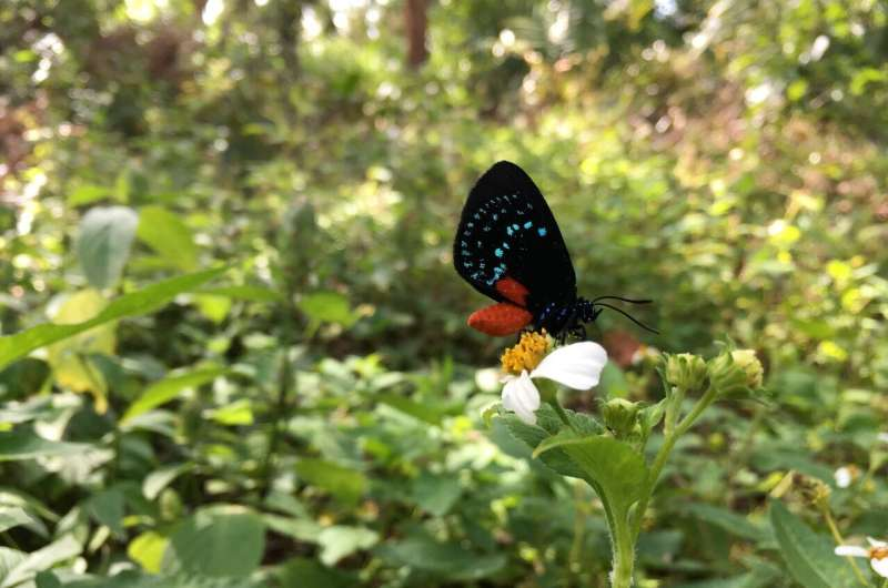 The evolution of red color vision in lycaenid butterflies linked to coordinated rhodopsin tuning