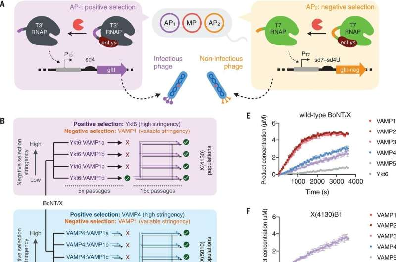 An evolutionary method for reprogramming proteases