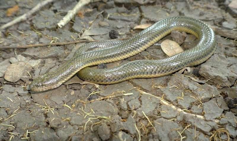 New snake species and genus discovered in Myanmar