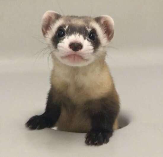 Black footed ferret cloned to help preserve endangered species