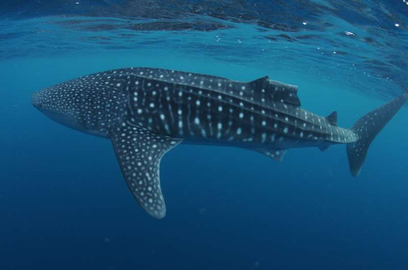Whale sharks show remarkable capacity to recover from injuries