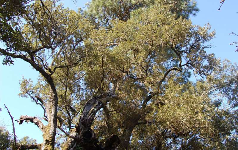 Oaks adapt drought resistance to local conditions