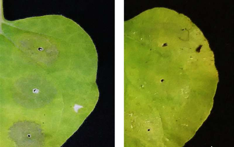 Plants as protein factories: antioxidant boosts the yield of valuable biologics