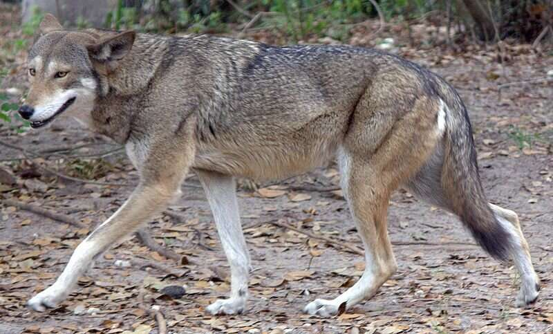 Red wolves are battling high mortality, coyote inbreeding as agencies try to repopulate Outer Banks