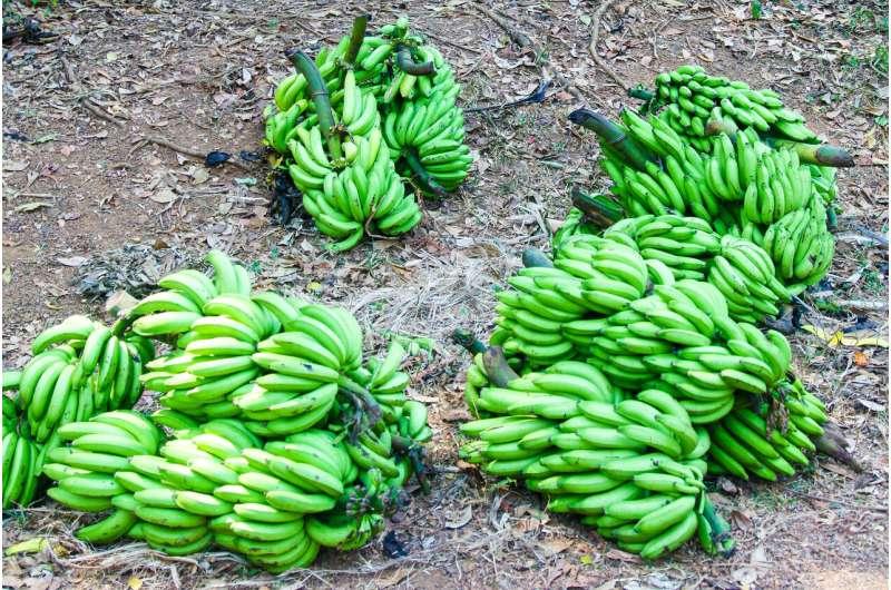 La herramienta de seguimiento simplifica el trabajo de mejoramiento del banano