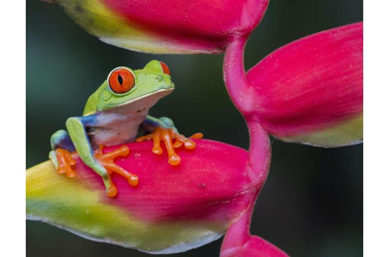 Smaller amphibians have increased extinction risk due to fewer offspring