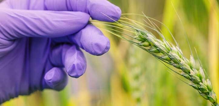 Las bacterias beneficiosas ayudan al trigo a soportar el calor