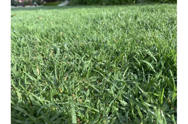 Size of grass blades offers better understanding of their vulnerability to climate change