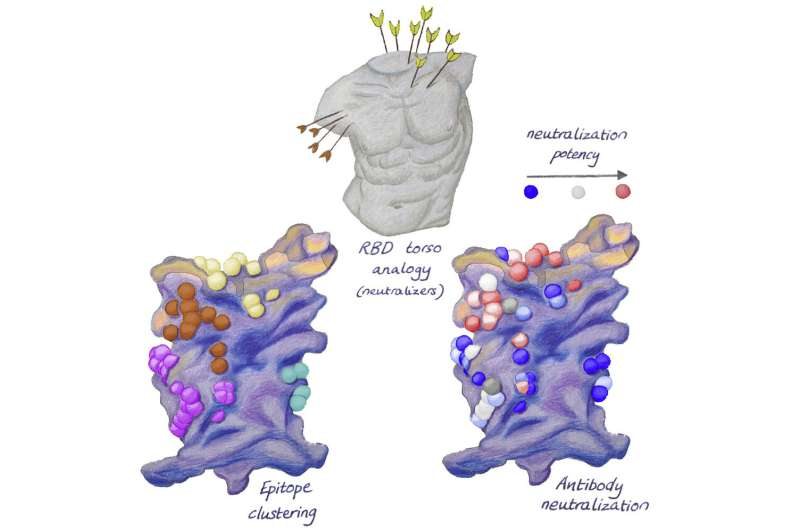 New targets for antibodies in the fight against SARS-CoV-2