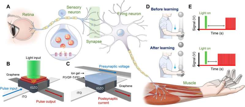 Artificial nervous system uses light sensing to catch objects like humans do