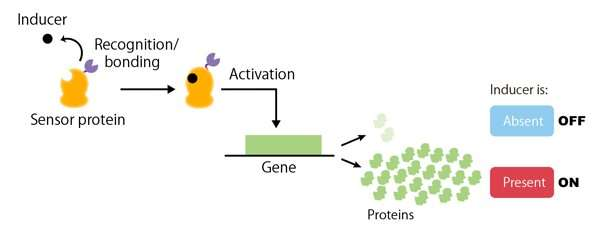 New method of artificially creating genetic switches for yeast
