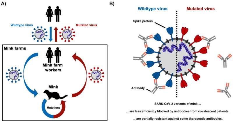SARS-CoV-2 variants from mink evade inhibition by antibodies