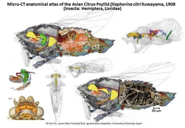 Científicos producen el primer atlas anatómico de plaga de cítricos asiática