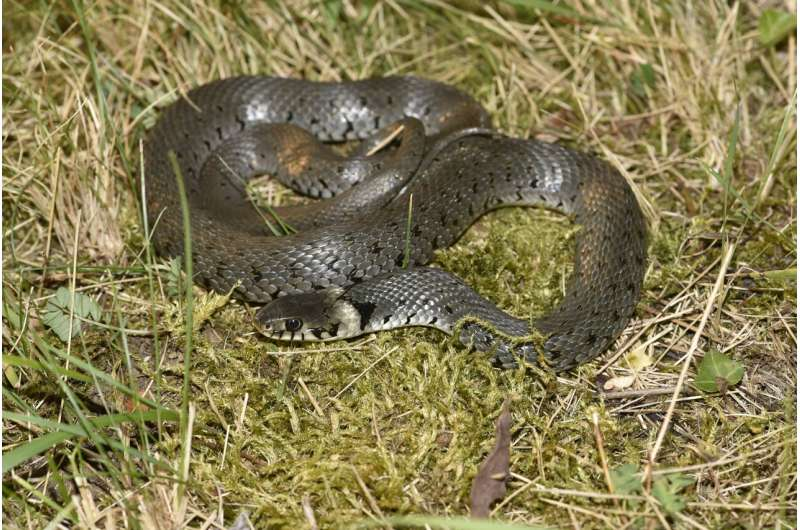 A snake crosses the Alps: the Italian barred grass snake spreads to Bavaria