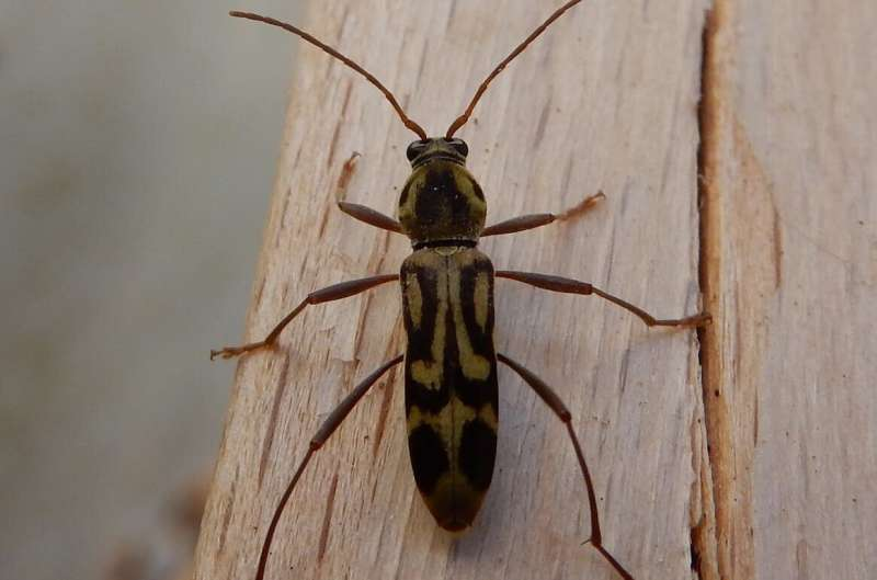 Citizen scientists help expose presence of invasive Asian bamboo longhorn beetle in Europe