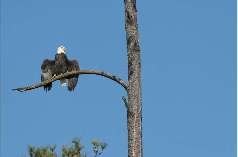 International investigation discovers bald eagles' killer