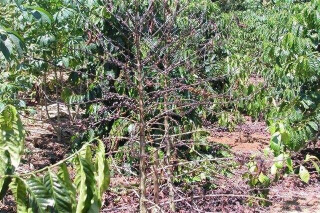 Der 70 Jahre alte Kaffee-Killerpilz ist wieder zum Leben erwacht, um Krankheiten zu bekämpfen