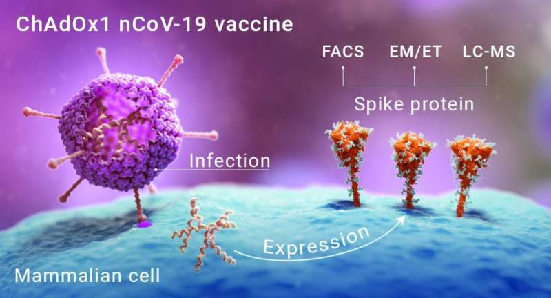 First images of cells exposed to COVID-19 vaccine reveal native-like Coronavirus spikes
