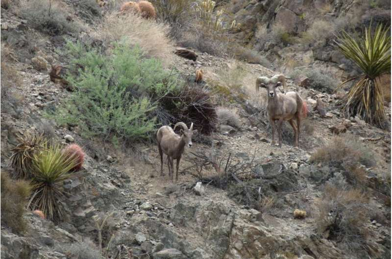 Researchers 'cautiously optimistic' about desert bighorn sheep recovery in Mojave Desert