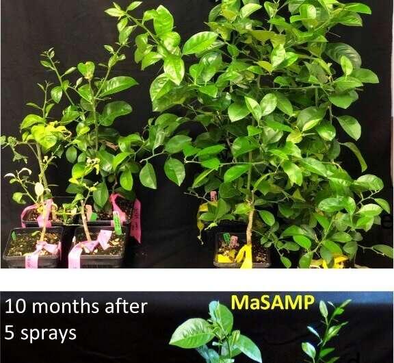 Researchers find peptide that treats, prevents killer citrus disease
