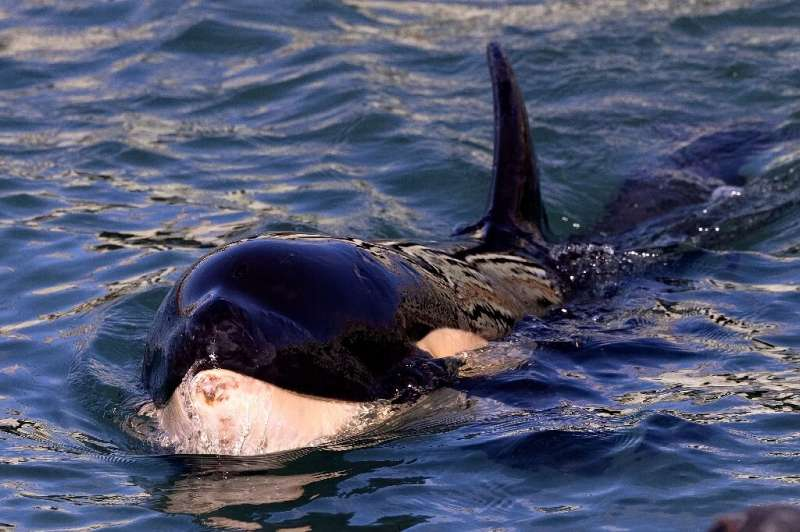 A baby orca named Toa became front-page news in New Zealand when he washed ashore near the capital Wellington after becoming sep