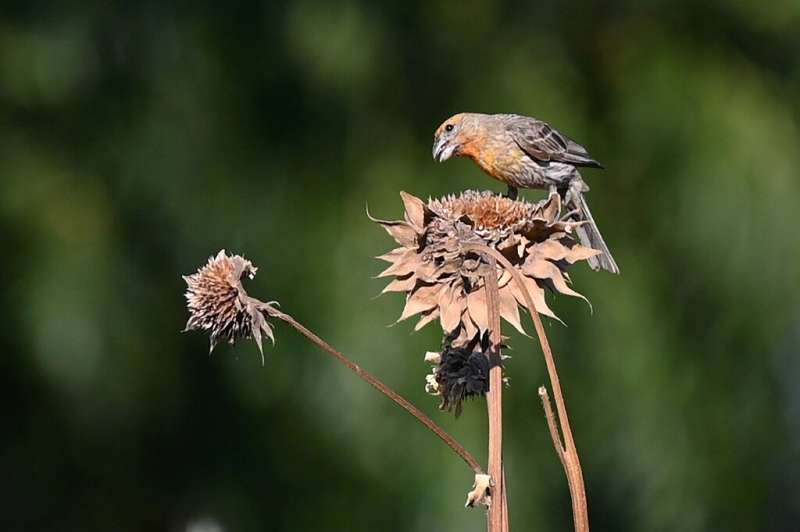 A bird eats the seeds of a dried flower on the farm of Liset Garcia, in Reedley, California