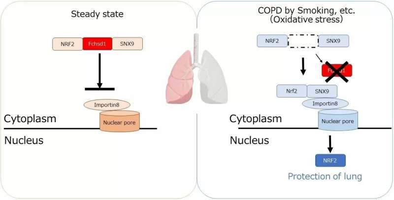 A breath of fresh air for emphysema research