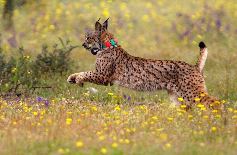 A captive breeding programme and release of the Iberian lynx into the wild has seen numbers climb