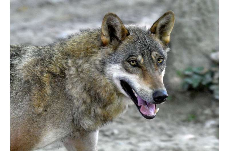 A Croatian wolf culling quota was established in 2005, but ministers then reintroduced a complete ban in 2013 to protect dwindli