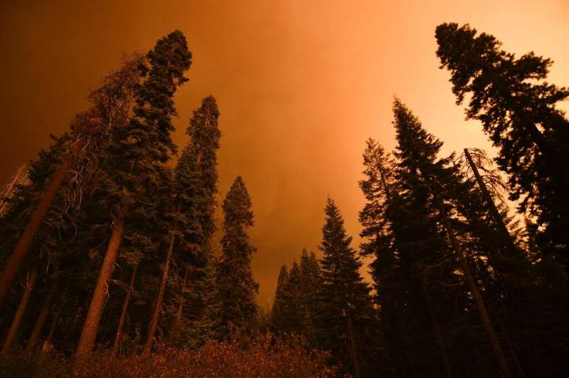 A dead tree (L) stands alongside living trees as smoke rises during the KNP Complex fire in the Sequoia National Forest near Red
