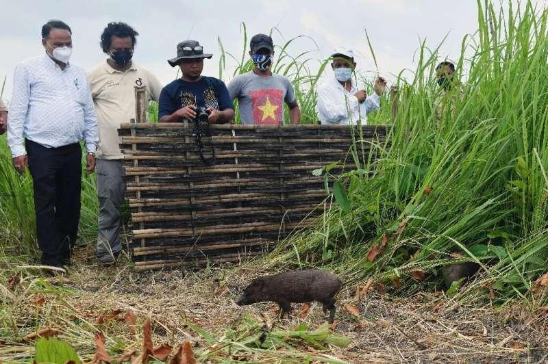 Una docena de los cerdos más pequeños del mundo han sido liberados en la naturaleza en el noreste de la India como parte de un programa de conservación.