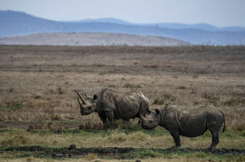 A female black rhino known as Sonia is pictured with her calf in the Lewa Wildlife Conservancy in Kenya