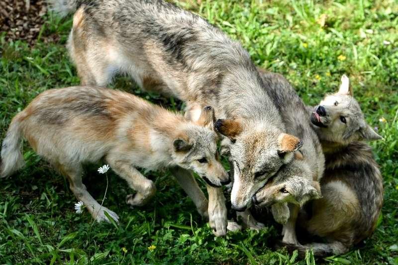 A female regurgitates food for wolf pups from Canada in their enclosure at Pairi Daiza animal park in Brugelette, western Belgiu