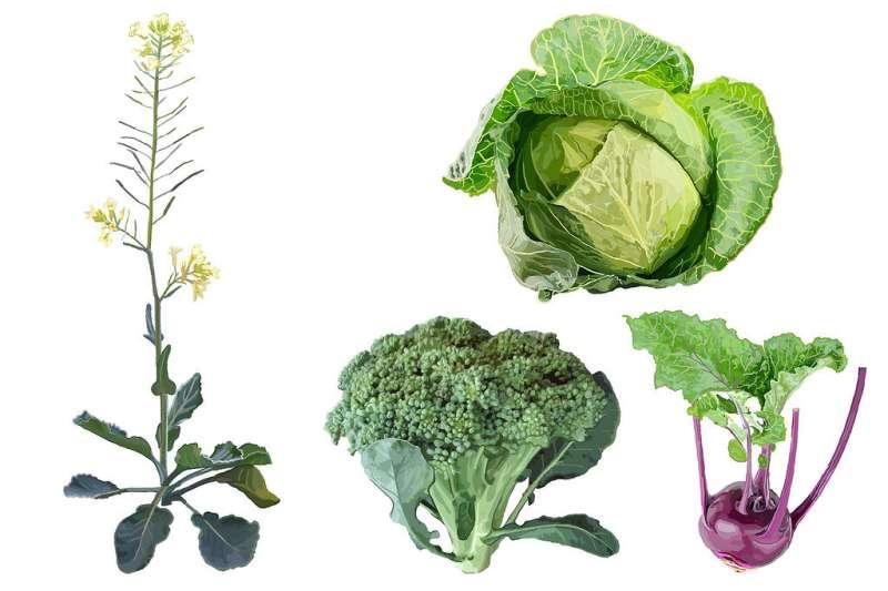 Un pasado salvaje podría ayudar a trazar el futuro de las hortalizas Brassica