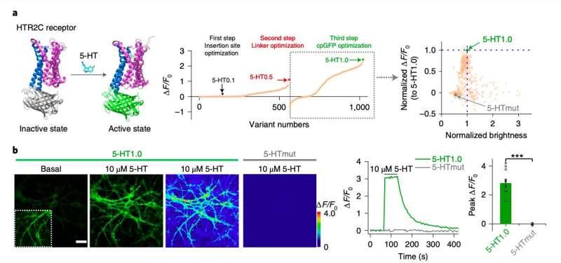 A genetically-encoded sensor to measure serotonin dynamics in vivo