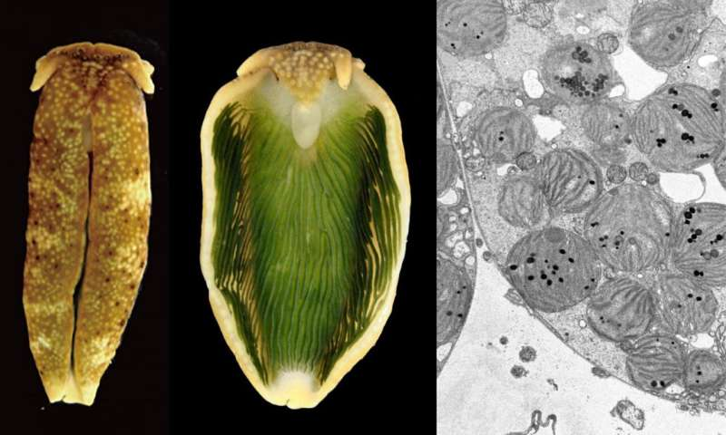 A genome of photosynthetic animals decoded