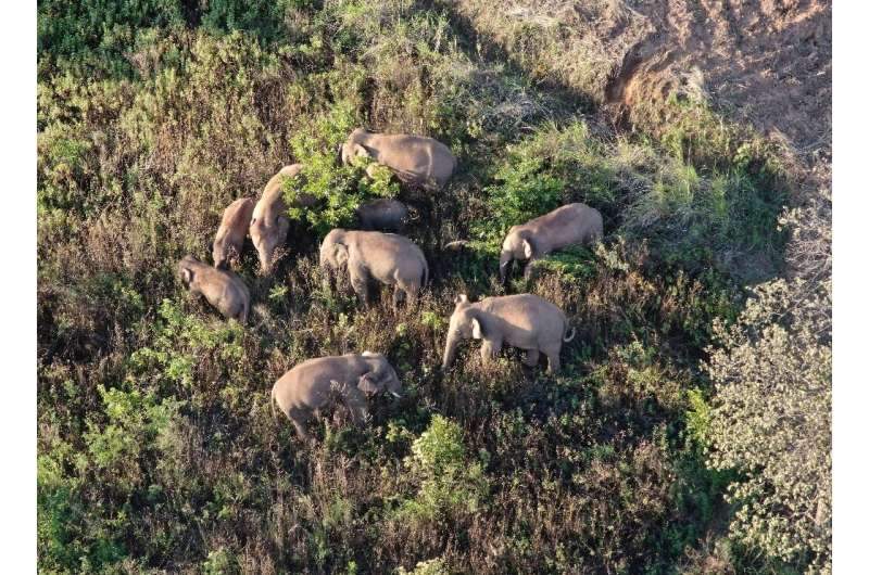 A herd of elephants have journeyed around 500 kilometres(310 miles) from their home in one of the longest animal migrations of