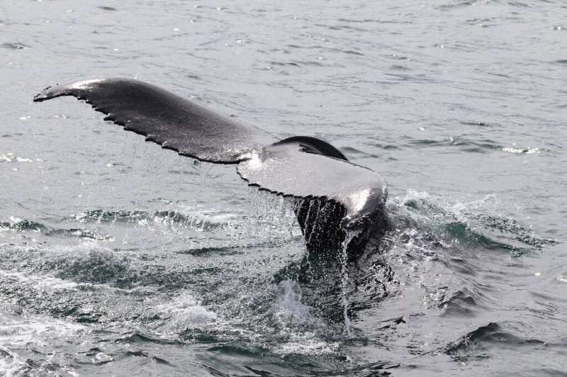 A large whale captures an average of 33 tonnes of carbon dioxide