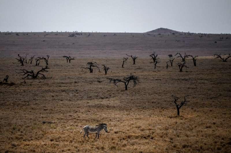 A male Grevy's zebra strolls in the Lewa Wildlife Conservancy's savanna in northern Kenya