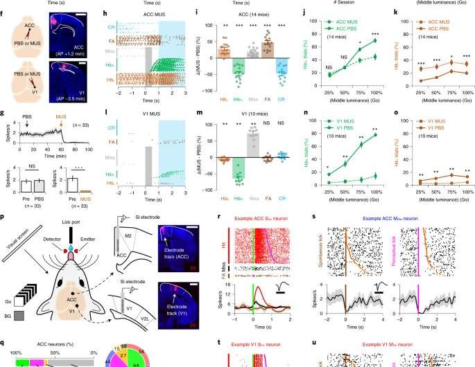 A microcircuit in the mouse anterior cingulate cortex that plays a role in transforming visual inputs into actions