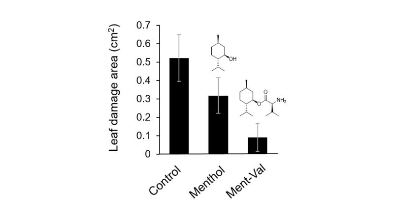 Una solución fresca de menta: usando un compuesto similar al mentol para activar los mecanismos inmunes de las plantas