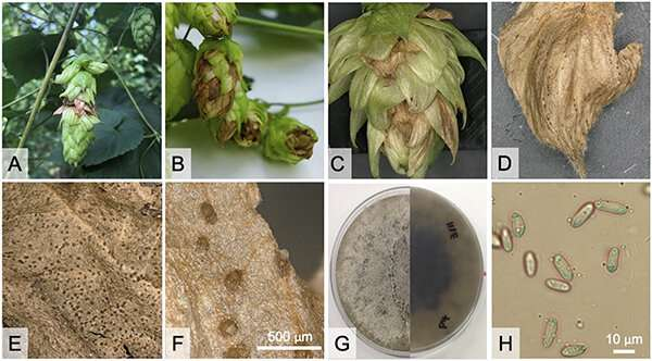 A new disease called halo blight threatens Michigan hop production