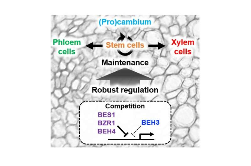 A new mechanism behind continuous stem cell activity in plants