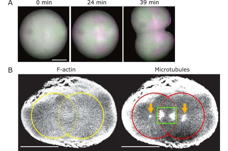 Una nueva sonda fluorescente polarizada para revelar la dinámica arquitectónica de las células vivas.