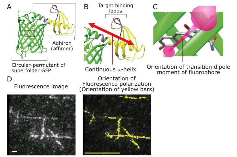 A new polarized fluorescent probe for revealing architectural dynamics of living cells