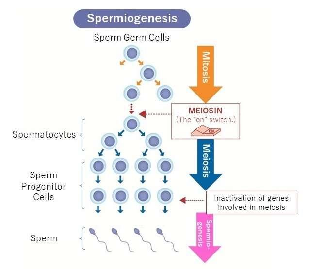 A novel gene involved in male infertility: ZFP541